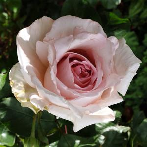Rose_300 quadratisch