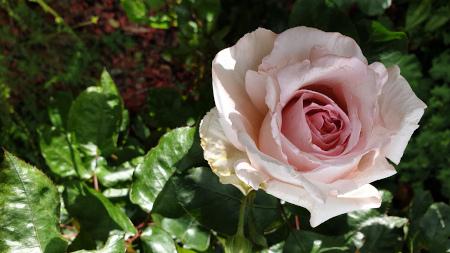 Rose_450