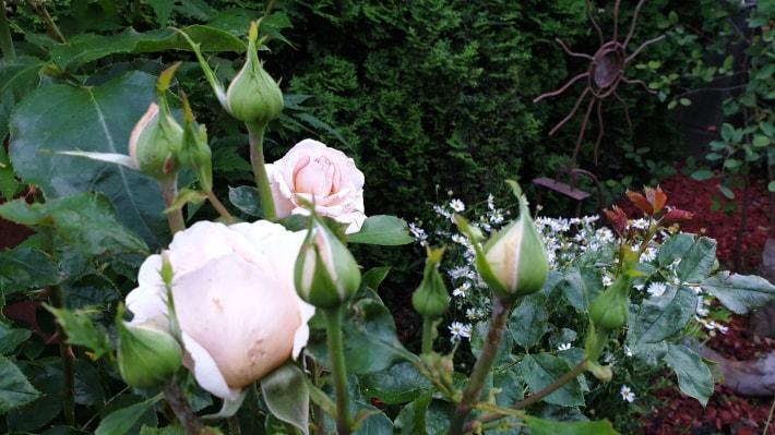 Rose_710